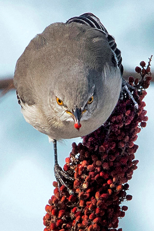 Northern mockingbird photo by B. Portzline